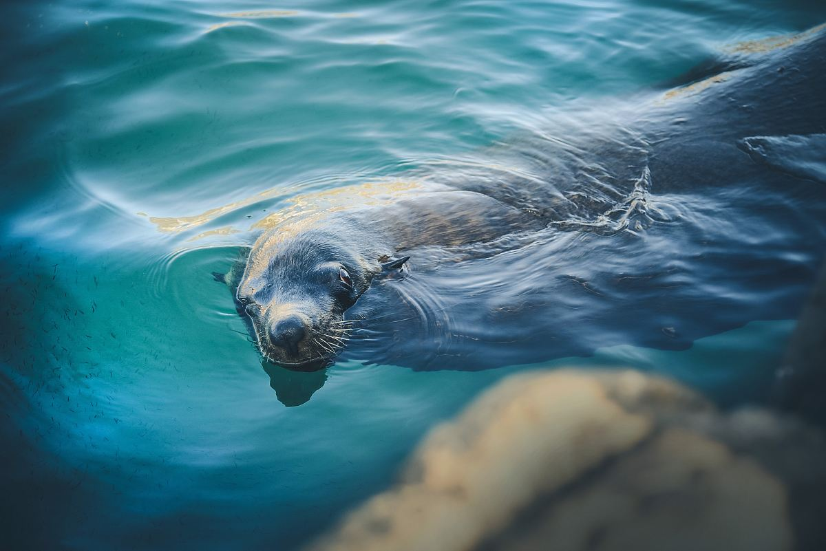 stock photos free  of sealion swimming in water