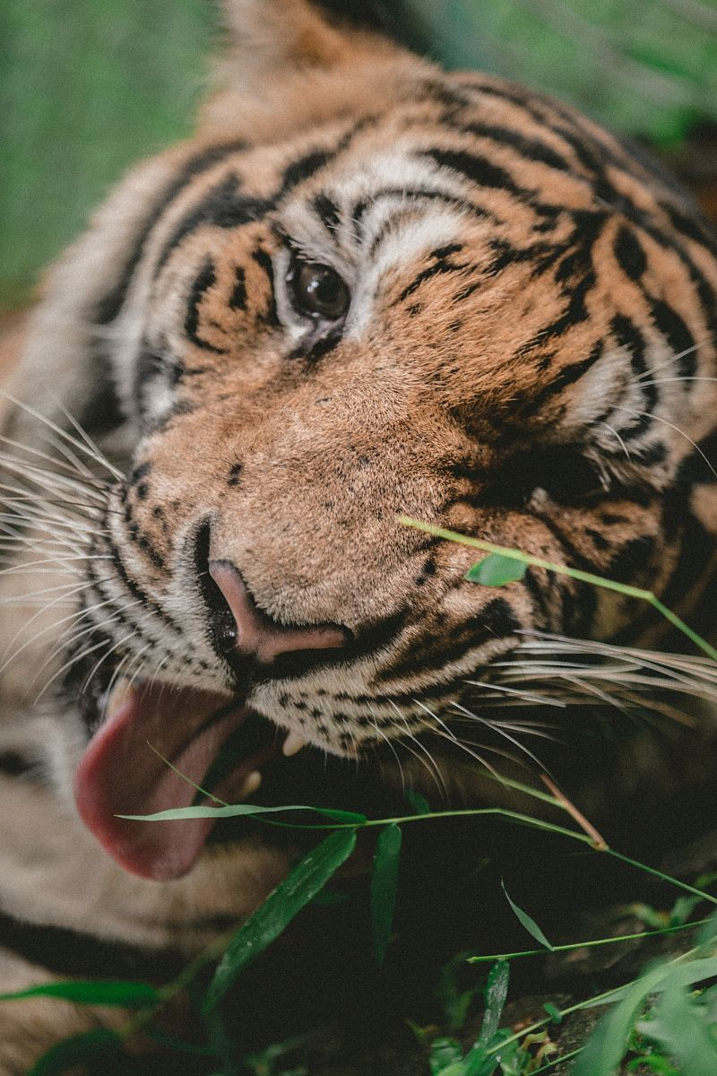 stock photos free  of shallow focus photography of tiger