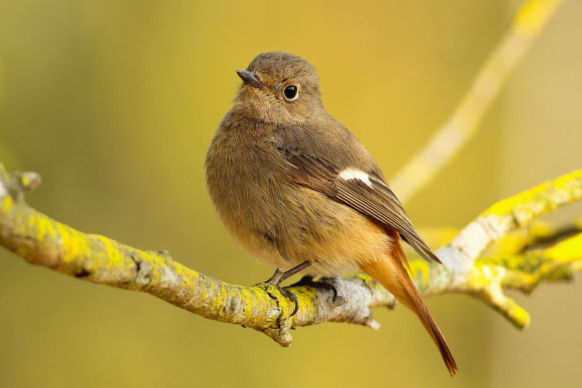stock photos free  of short-beaked brown bird on tree branch