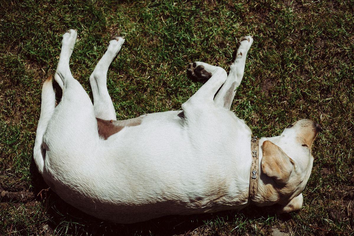 stock photos free  of short-coated white dog