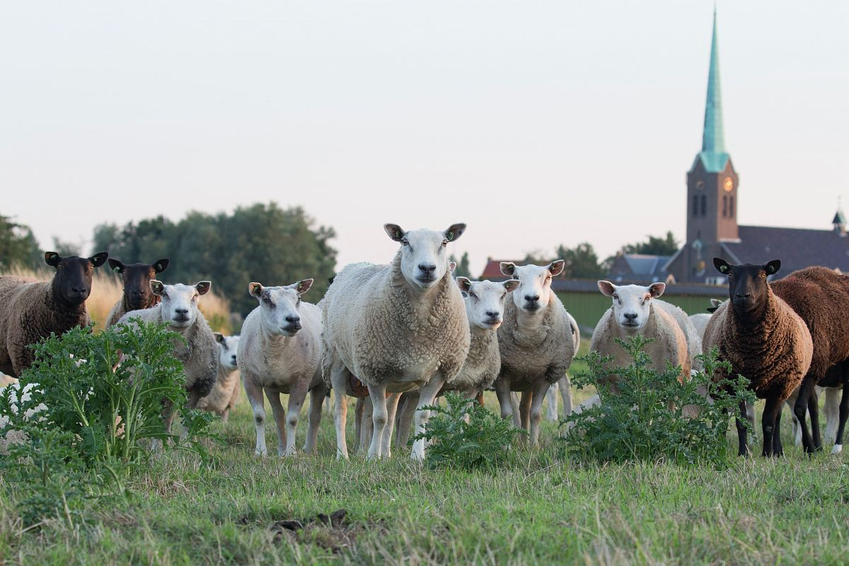 stock photos free  of white and brown sheep on lawn grass
