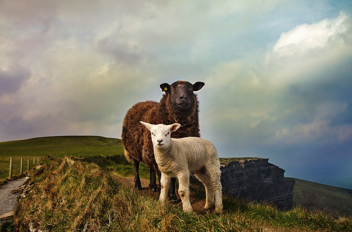 stock photos free  of young and adult sheep standing on mountain
