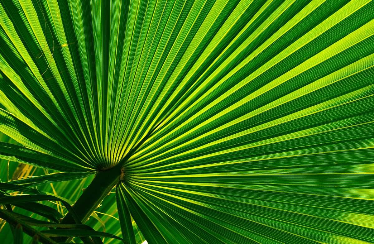 stock photos free  of light green fan palm palm tree