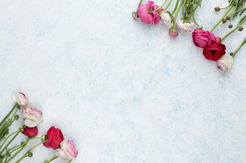 blue pink and white flowers on white surface flower