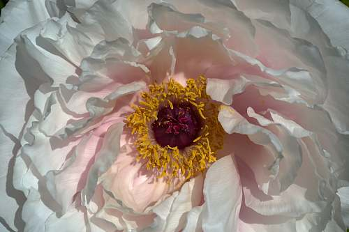 plant white, yellow, and purple petaled flower peony