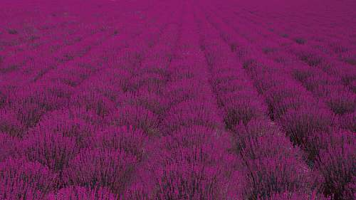 purple pink petaled flower field lavender