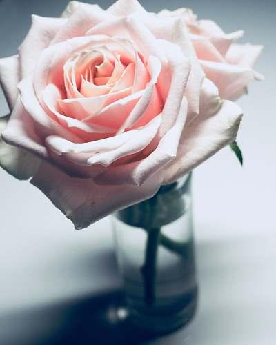 rose pink rose on clear glass vase floral