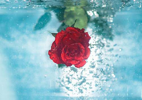 rose red flower under water flora