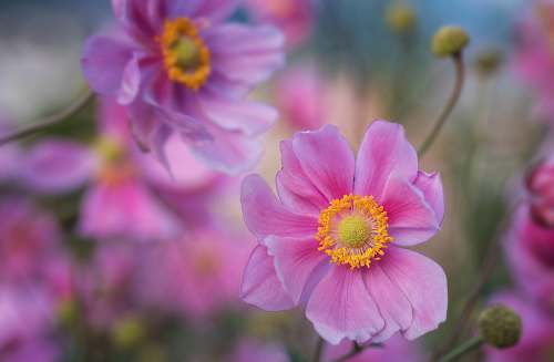 plant selective photo of pink flowers cosmos