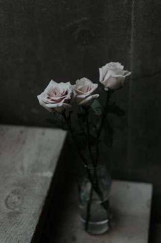 rose three white rose flowers in vase blossom