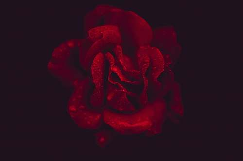human red rose with black background flower