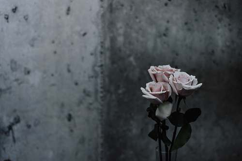 rose selective focus photography of pink roses beside gray concrete wall flower