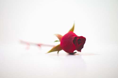 flower red rose blossom