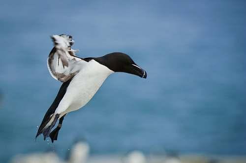 animal on flight black and white bird black