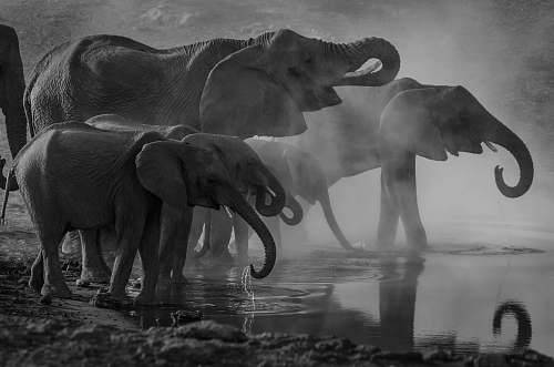 animal grayscale photo of elephants drinking water elephant