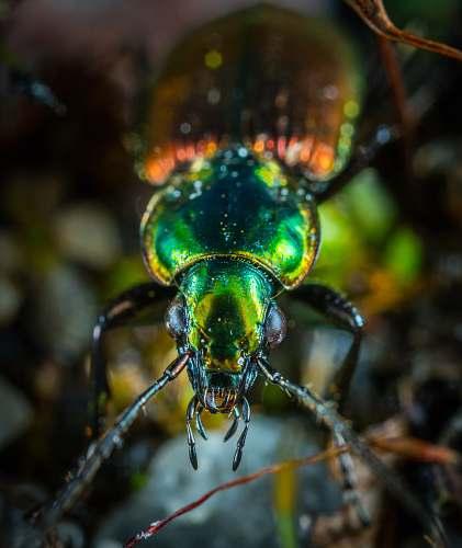 beetle green and orange beetle closeup