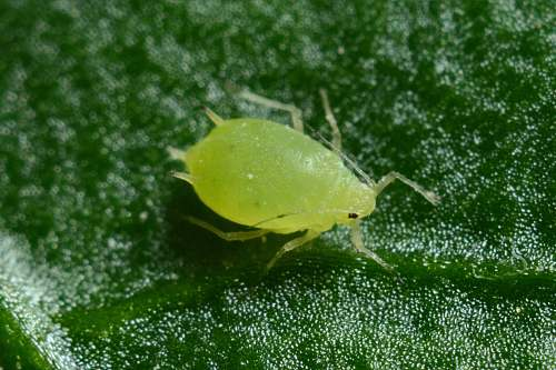 invertebrate macro photography of green aphid aphid