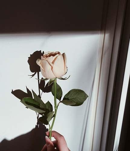plant peach rose human