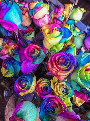 rose closeup of multicolored petaled roses flora