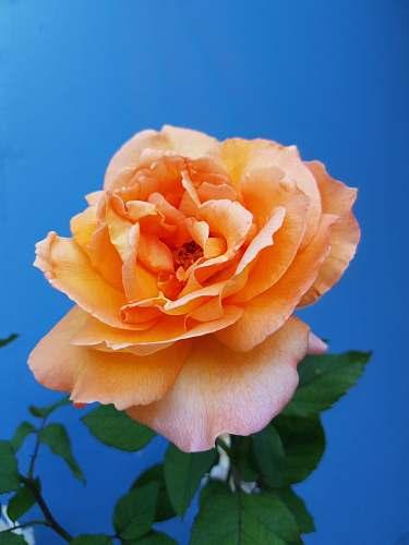 rose closeup of orange petaled flower plant