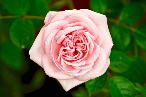 rose closeup photo of pink rose blossom