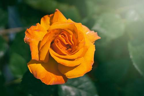 rose orange rose blossom