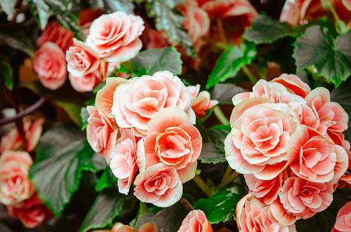 rose pink flowers with green leaves blossom