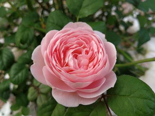 rose pink petaled flower blossom