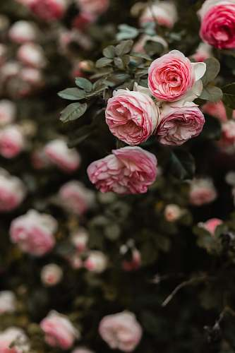 rose pink petaled flowers selective focus photography plant