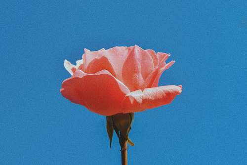 rose pink rose in close-up photography blossom