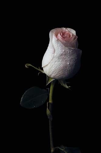 rose pink rose acanthaceae