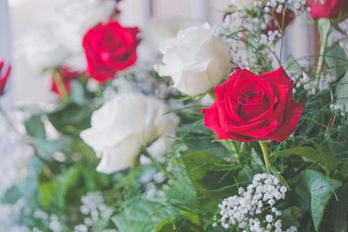 rose red petaled flower plant