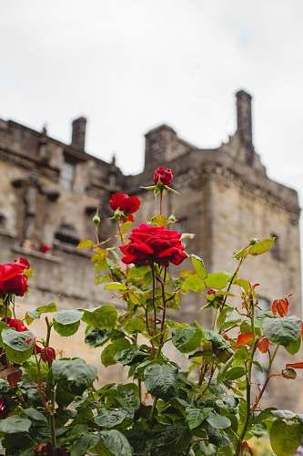 plant red rose flower adytime s at blossom