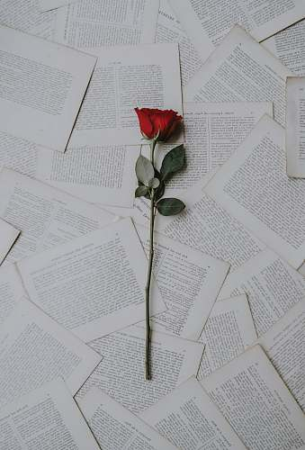 rose red rose on book sheets paper