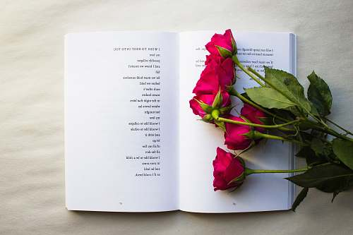rose red roses on book book