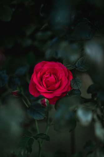 plant selective focus photography of blooming rose flower blossom