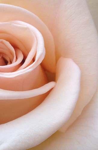plant white rose flower blossom