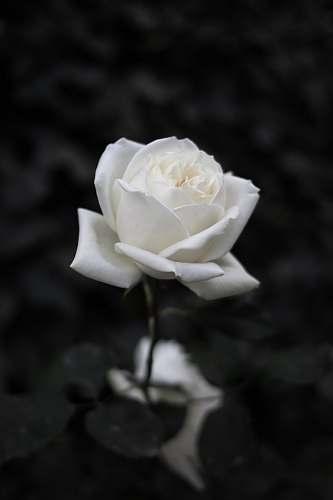 rose white rose selective focus blossom