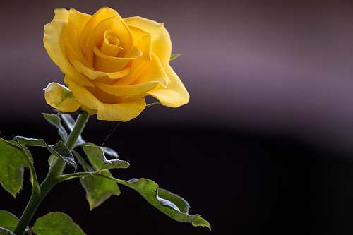 plant yellow rose flower rose