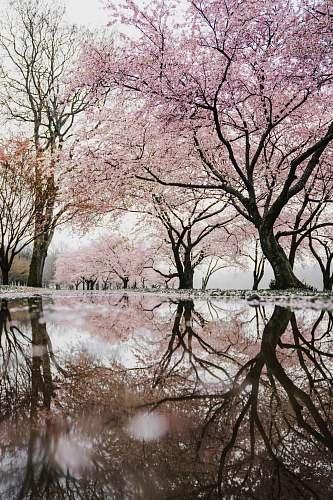 tree cherry blossom trees near river blossom