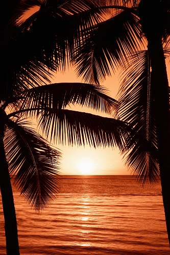 photo tree silhouette photography of two coconut trees near body water during golden hour palm tree free for commercial use images