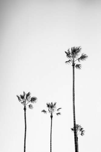 black-and-white four palm trees palm tree