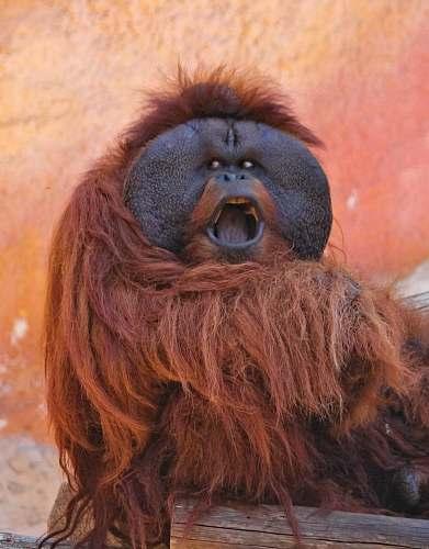 orangutan orangutan sitting on wood mammal