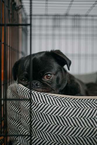 pet pug lying on pet bed dog