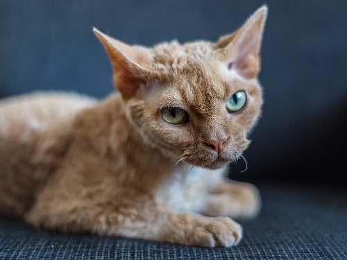 cat short-fur orange cat abyssinian