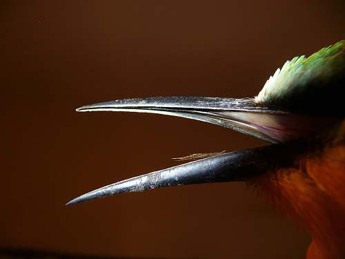 bird close up photo of black bird beak nature