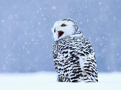 bird white and black owl on snow covered field nature