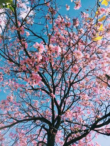 flower pink petaled flowering tree tree
