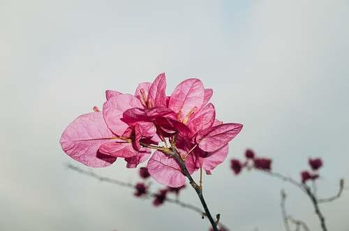 blossom pink flowers macro photography geranium