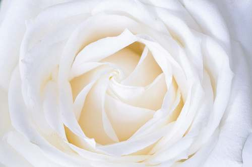 rose white rose close up photography white